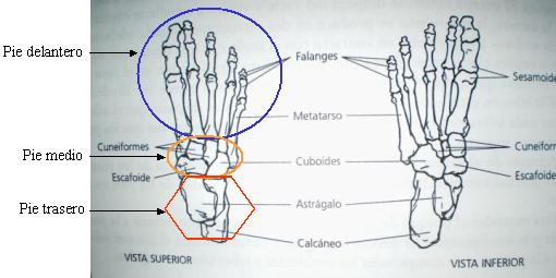 cómo influye el calzado minimalista en la anatomía del pie? - Blog ...